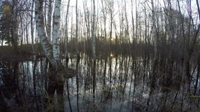 Sunset in birch forest with water flood, time lapse stock footage