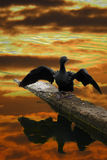 Sunset Bird. A river bird stretching its wings on the banks of a river at the time of sunset Royalty Free Stock Photo