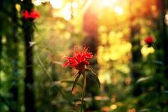 Sunset Bloom. Stream of light shining on red orange flower in woods Royalty Free Stock Photos