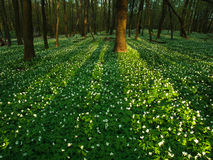 Sunset in the blossoming green forest in sunlight and shadows Royalty Free Stock Image