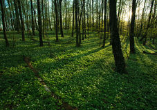 Sunset in the blossoming green forest in sunlight and shadows Stock Photography