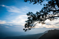 Sunset with blue sky behind the silhouetted branch of pine tree Stock Photography