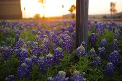 Sunset with bluebonnet. Sunset flowers bluebonnet state flower of Texas royalty free stock images