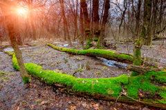 Sunset on bog in forest Royalty Free Stock Photography
