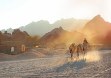 Sunset with boy and camels in the egyptian mountain desert Stock Image