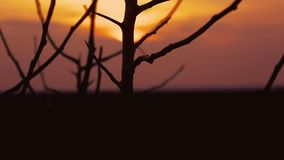 Sunset branch nature. Tree  branch apricot silhouette on orange sunset stock footage