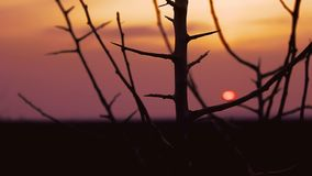 Sunset branch nature. Tree  branch apricot silhouette on orange sunset landscape stock footage