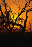 Sunset in the Bushveld #2. Sunset in the bushveld with trees silhouetted against the setting sun Royalty Free Stock Photo