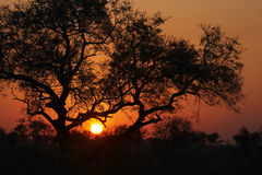 Sunset in the Bushveld #3. Sunset in the bushveld with trees silhouetted against the setting sun Royalty Free Stock Photography
