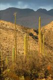 Sunset in the Cactus fields, Mexico,Baja California Royalty Free Stock Image