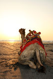 Sunset Camel Stock Images