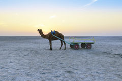 Free Sunset Camel Ride At Great Rann Of Kutch, Gujarat Royalty Free Stock Photography - 88020527