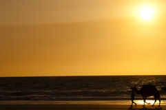 Sunset camel ride - Broome - Australia Royalty Free Stock Photography