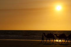 Sunset camel ride - Broome - Australia Royalty Free Stock Image