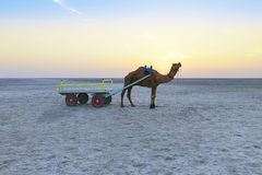 Sunset camel ride at great Rann of Kutch, Gujarat Stock Photos
