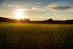Sunset on the canola field Stock Image