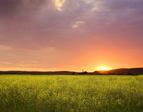Sunset canola fields landscape Stock Image