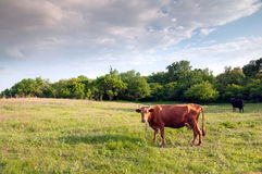 Sunset cattle Royalty Free Stock Photo