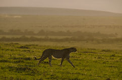 Sunset cheetah Stock Photography