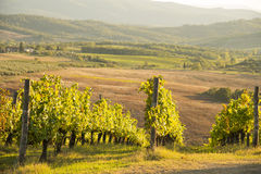 Sunset in Chianti. Panoramic view of scenic Tuscany landscape with vineyard in the Chianti region, Tuscany, Italy royalty free stock images