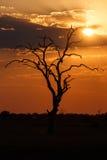 Sunset - Chobe N.P. Botswana, Africa Royalty Free Stock Image