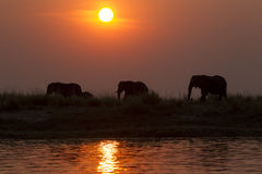 Sunset on the choebe river with elephants in horiz Stock Image