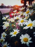 Sunset. Chrysanthemums bloom in the setting sun Stock Images
