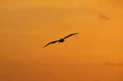 Sunset on Clearwater Beach Florida. Bird in flight in silhouette during sunset In Florida royalty free stock images