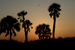 Sunset on Clearwater Beach Florida. Birds and palms in silhouette during sunset In Florida royalty free stock photos