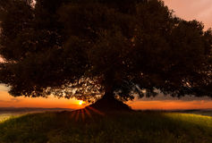 Sunset closeup. Closeup of a large tree on a hilltop in Tuscany with the sun setting Royalty Free Stock Images