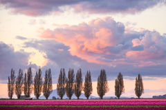 Sunset Clouds Above Tulip Fields. Colorful clouds and windbreak trees with field of red and pink tulips. Skagit Valley Tulip Festival, Mount Vernon, WA Royalty Free Stock Images