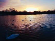 Sunset clouds coastline dusk swan. Evening natural phenomenon outdoors Royalty Free Stock Photo