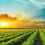 Sunset in clouds over field with tomato bushes Royalty Free Stock Images