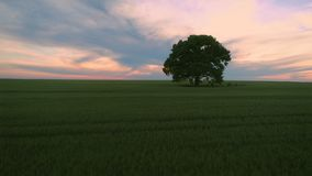 Sunset clouds over green wheat field and lonely tree, aerial video.  stock video footage