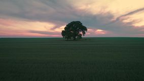 Sunset clouds over green wheat field and lonely tree, aerial video.  stock video