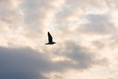 Sunset with clouds. The sun between clouds and a seagull flying over clouds. Stock Photo