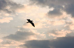 Sunset with clouds. The sun between clouds and a seagull flying over clouds. Royalty Free Stock Images