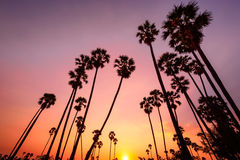 Sunset with coconut tree Royalty Free Stock Image