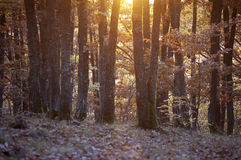 Sunset in a colorful forest in autumn Stock Photography