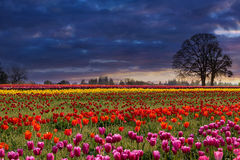 Sunset at Colorful Tulip Field springtime. Sunset over fields of colorful tulip flowers in bloom during Spring season Stock Photography