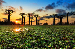 Sunset colors Baobab alley Stock Photography