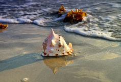 At sunset, the conch on the beach. Conch shells on the beach, sea water Royalty Free Stock Image