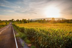 Sunset at Corn Farm. Corn farm along the road with sunset, countryside of Thailand Royalty Free Stock Image