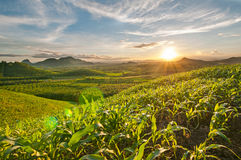 Sunset. At the corn field Stock Images