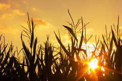 Sunset on a Corn Field Stock Image