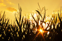 Sunset on a Corn Field Royalty Free Stock Images