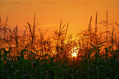 Sunset in cornfield Royalty Free Stock Image