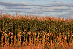 Sunset cornfield Stock Photography