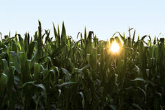 Sunset in Cornfield Stock Photo