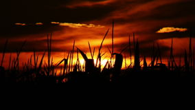 Sunset at cornfield time lapse stock video footage